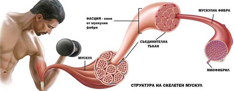 Структура на скелетния мускул - как растат мускулите.